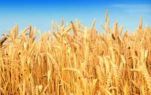 wheat-images-31